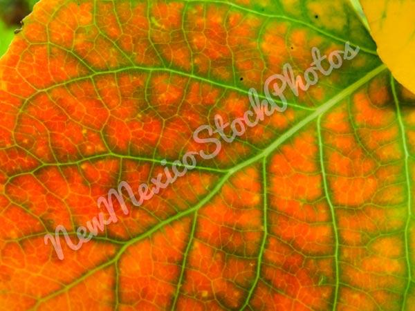 Fall: Aspen Leaf I
