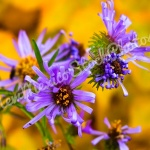 Fall: Purple Asters I
