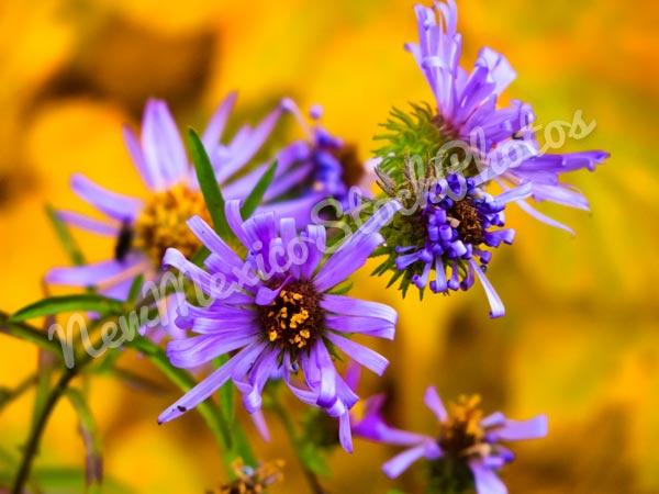 Fall: Purple Asters I
