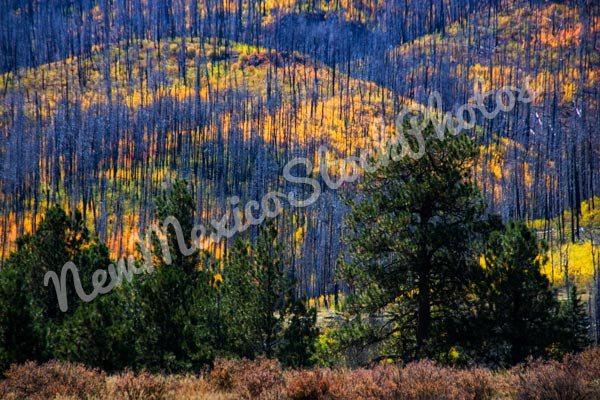 Jemez: Las Conchas Fire Regrowth V
