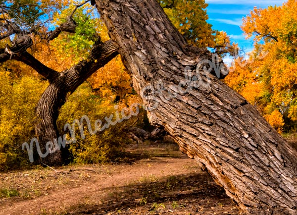 Fall: Rio Grande Bosque Cottonwoods II